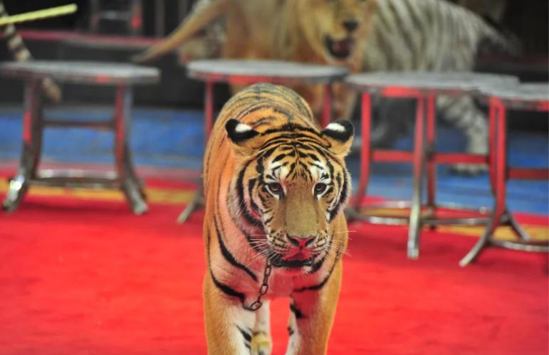 马戏团里的动物明星-快乐六一 超级马戏 国际马戏小丑六一嘉年华郑州站